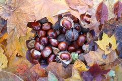 Rosskastanien oder Aesculus hippocastanum Früchte im Herbst Lizenzfreies Stockfoto