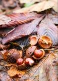 Rosskastanien oder Aesculus hippocastanum Früchte im Herbst Stockfotos