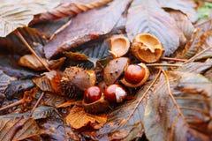 Rosskastanien oder Aesculus hippocastanum Früchte im Herbst Stockbild