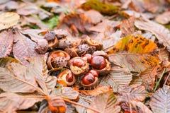 Rosskastanien oder Aesculus hippocastanum Früchte im Herbst Stockbilder