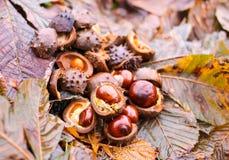 Rosskastanien oder Aesculus hippocastanum Früchte im Herbst Lizenzfreie Stockfotos