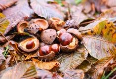 Rosskastanien oder Aesculus hippocastanum Früchte im Herbst Stockfoto