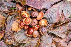 Rosskastanien oder Aesculus hippocastanum Früchte im Herbst Stockfotografie