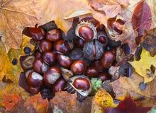 Rosskastanien oder Aesculus hippocastanum Früchte im Herbst Lizenzfreie Stockfotografie