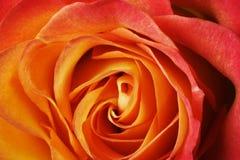 Rosso-arancione è aumentato Fotografia Stock