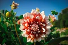 Rosso bianco della dalia del fiore Fotografia Stock Libera da Diritti