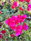 Rosso ciliegia Immagini Stock Libere da Diritti