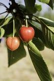 Rosso ciliegia sui tre Immagini Stock