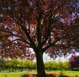 Rosso colorato o Plum Prunus dell'albero di mogano immagine stock libera da diritti