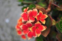 Rosso con il primo piano giallo del fiore del kalanchoe Fotografia Stock
