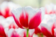 Rosso con il tulipano bianco davanti al campo dei tulipani Fotografia Stock