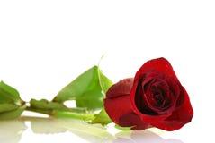 Rosso-cupo piacevole è aumentato con le goccioline Fotografia Stock Libera da Diritti