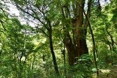 Rosso Cypress di Taiwan Fotografie Stock
