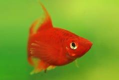 Rosso dei pesci dell'acquario Fotografie Stock Libere da Diritti