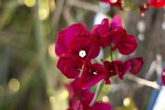 Rosso del fiore Fotografia Stock Libera da Diritti