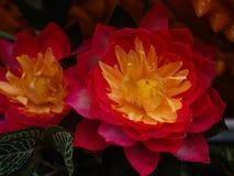 Rosso del fiore Fotografie Stock