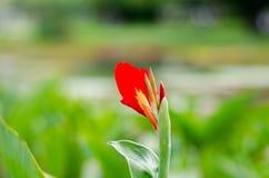 Rosso del fiore fotografie stock libere da diritti