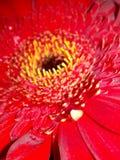Rosso del fiore della gerbera immagini stock