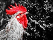 Rosso del gallo fotografie stock