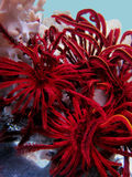Rosso del giglio di mare fotografie stock
