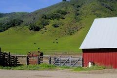 Rosso del granaio con le mucche Lompoc California Fotografia Stock