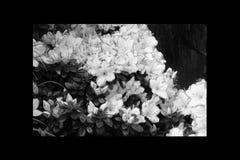 Rosso dell'azalea, petunie, narciso giallo, viole del pensiero, bocca di leone e tagete, bello bianco del nero del fondo dell'erb Fotografie Stock