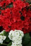 Rosso dell'azalea, petunie, narciso giallo, viole del pensiero, bocca di leone e tagete, bello bianco del nero del fondo dell'erb Immagine Stock