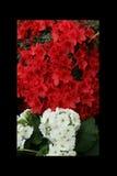 Rosso dell'azalea, petunie, narciso giallo, viole del pensiero, bocca di leone e tagete, bello bianco del nero del fondo dell'erb Immagine Stock Libera da Diritti