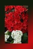 Rosso dell'azalea, petunie, narciso giallo, viole del pensiero, bocca di leone e tagete, bello bianco del nero del fondo dell'erb Fotografia Stock