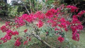 Rosso della buganvillea Immagini Stock Libere da Diritti