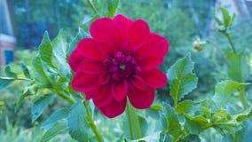 Rosso della dalia Bello fiore in giardino Priorità bassa floreale Immagini Stock Libere da Diritti