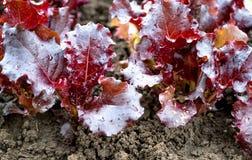 Rosso della lattuga nel giardino dopo l'innaffiatura Immagine Stock Libera da Diritti