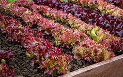 Rosso della lattuga nel giardino dopo l'innaffiatura Fuoco selettivo Fotografie Stock