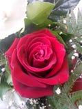rosso della rosa dei fiori Fotografia Stock