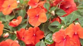 Rosso delle petunie che fiorisce l'alto metraggio delle azione di definizione archivi video