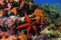 Rosso delle stelle marine Immagine Stock Libera da Diritti
