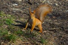 Rosso dello scoiattolo fotografia stock