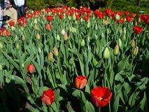 Rosso di festival del tulipano Immagini Stock