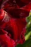 Rosso di gladiolo Immagine Stock