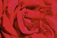 Rosso di Rosa Immagine Stock Libera da Diritti