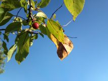 Rosso di un albero e di un blu del cielo Immagine Stock Libera da Diritti