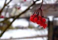 Rosso di viburno in giardino di inverno fotografia stock libera da diritti