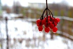 Rosso di viburno in giardino di inverno fotografia stock