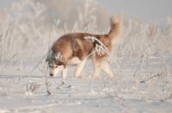 Rosso e bianco del cane del husky siberiano che starnutiscono un ritratto della trappola nel prato della neve Fotografie Stock