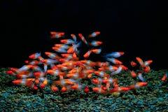 Rosso e bianco del pesce del helleri di Xiphophorus immagine stock