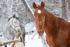 Rosso e cavalli bianchi Fotografia Stock Libera da Diritti
