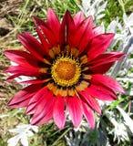 Rosso e fiore di Gazania dell'oro Immagine Stock Libera da Diritti