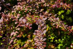 Rosso e foglie verdi del thunbergii Atropurpurea del Berberis del crespino Bello fondo variopinto di autunno fotografie stock libere da diritti