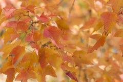 Rosso e fondo delle foglie dell'arancia Fogliame di autunno Fotografia Stock