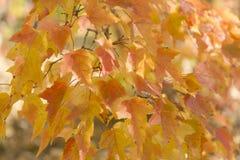 Rosso e fondo delle foglie dell'arancia Fogliame di autunno Fotografie Stock Libere da Diritti
